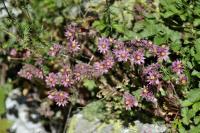 Sempervivum montanum subsp. montanum