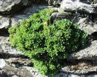 Sedum hirtum subsp. hirtum