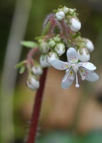 Saxifraga hirsuta subsp. hirsuta