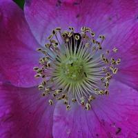 Rosa pendulina