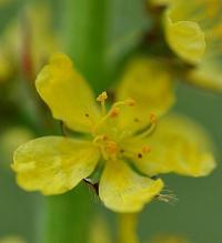 Agrimonia eupatoria subsp. eupatoria