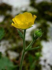 Geum pyrenaicum