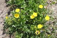 Potentilla aurea subsp. aurea