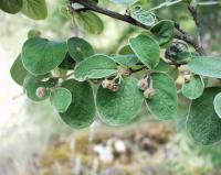 Cotoneaster nebrodensis