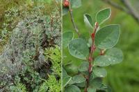 Cotoneaster intergerrimus