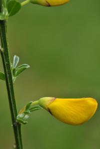 Cytisus scoparius subsp. scoparius