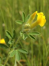 Chamaecytisus supinus subsp. supinus