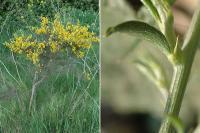 Genista scorpius subsp. scorpius