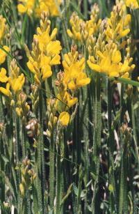 Genista sagittalis subsp. sagittalis