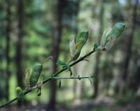 Genista cinerea subsp. ausetana