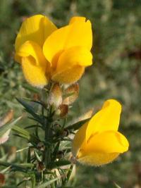 Ulex europaeus subsp. europaeus