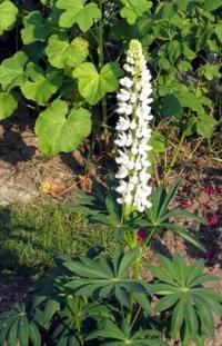 Lupinus albus subsp. albus