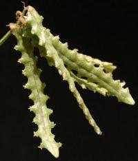Astragalus peleccinus