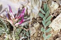 Astragalus incanus