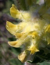 Astragalus alopecuroides subsp. alopecuroides