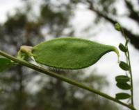 Vicia hybrida