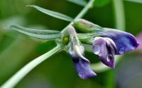 Vicia sativa subsp. nigra