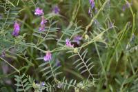 Vicia villosa subsp. varia