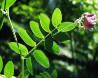 Lathyrus niger subsp. niger