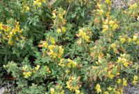 Ononis natrix subsp. natrix