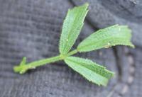 Ononis natrix subsp. ramosissima