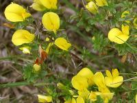 Ononis viscosa subsp. breviflora
