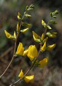 Ononis aragonensis