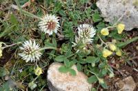 Trifolium montanum subsp. montanum