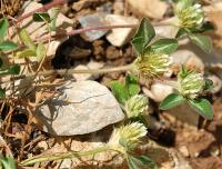 Trifolium scabrum