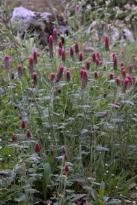 Trifolium incarnatum subsp. incarnatum