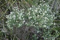Dorycnium pentaphyllum subsp. pentaphyllum
