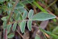 Anthyllis vulneraria subsp. forondae