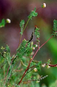 Ornithopus perpusillus