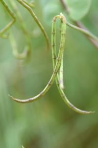 Coronilla scorpioides