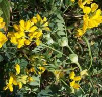 Coronilla valentina subsp. glauca