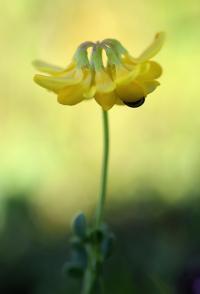 Coronilla minima subsp minima
