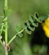 Hippocrepis comosa subsp. comosa