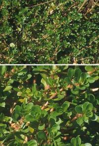Lythrum portula