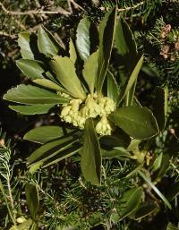 Daphne laureola subsp. laureola