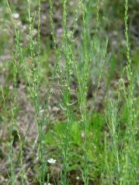 Thymelaea passerina