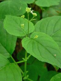 Circaea alpina subsp. alpina