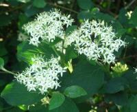 Cornus sanguinea subp. sanguinea