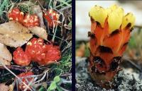 Cytinus hypocistis subsp hypocistis