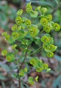 Euphorbia amygdaloides subsp amygdaloides