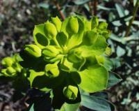 Euphorbia nicaeensis subsp nicaeensis