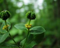 Euphorbia hyberna subsp. hyberna
