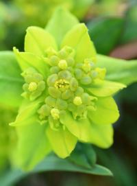 Euphorbia flavicoma subsp. occidentalis
