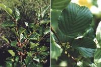 Rhamnus alpina subsp alpina