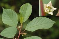 Frangula alnus subsp. alnus