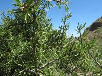 Rhamnus lycioides subsp. lycioides